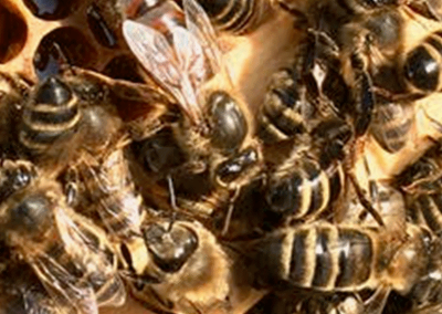 Queen bee and workers on a honeycomb