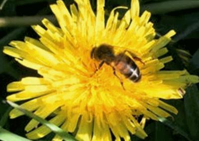 Honey bee on dandelion