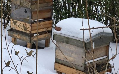 What do honey bees do in the winter?